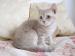 Modré a lilavé BRITSKÉ mačiatka - K ODBERU - Predaj