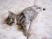 Britské mačiatko - čierno-zlatý WHISKAS kocúrik - Predaj