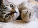 Britské mačiatko - čierno-zlatý WHISKAS kocúrik