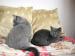 Prekrásna BRITSKÁ MODRÁ - mačička - Predaj