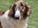 Barzoj-7 ročný pes