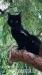 Britská macka - Darovanie