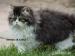 Perská koťátka