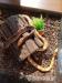 chovný párik úžovky červenej a 2 ich mláďatá - Predaj