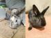 Vrchlabí - Prodám dva dvouměsíční zakrslé králíky